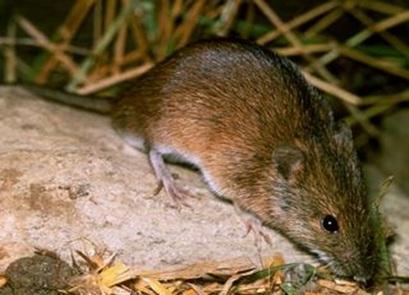 دانلود پاورپوینت خسارت موش ورامین به کشاورزی