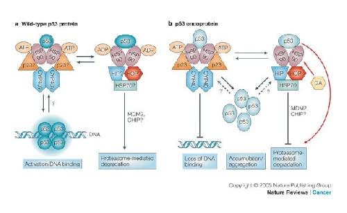 دانلود تحقیق پروتئین های مثوک حرارتی
